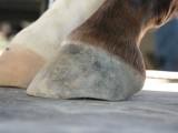 Barefoot trim - hind hoof